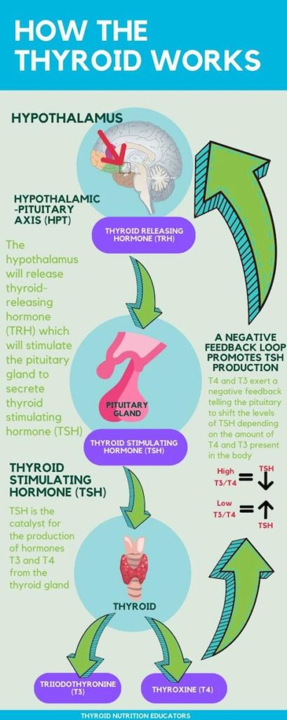 How the thyroid works infographic  Thyroid Nutrition Educators